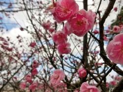 Plum Flowers at Sanda Tenman Shrine