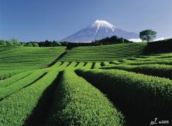 Mt. Fuji and the tea farms!