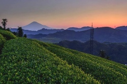 Tea Farms and Mt. Fuji